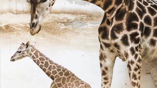 Napi cuki: zsiráfbébi született a Nyíregyházi Állatparkban