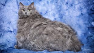 Elpusztult a világ legkövérebb macskája