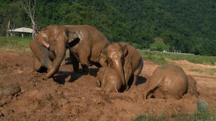 Eszüket vesztve iszapfürdőztek az elefántbébik