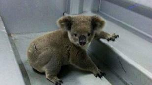 Ausztráliában letartóztattak egy koalát