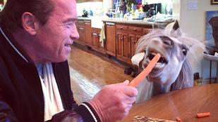 Látta már Arnold Schwarzeneggert pónit etetni?