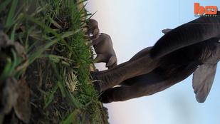 Ilyen lehet, ha az embert eltapossa egy elefánt