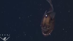 Először filmeztek le púpos horgászhalat