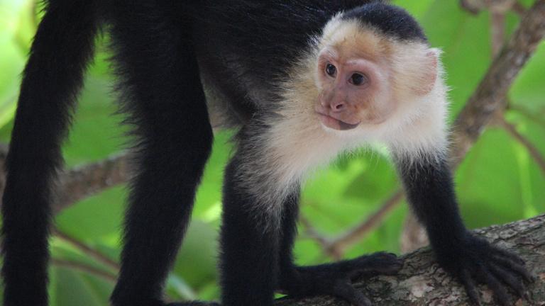 Tanuljon protestáns etikát egy majomtól!