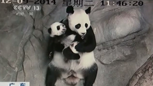 Születésük óta először találkozott kölykeivel a pandamama