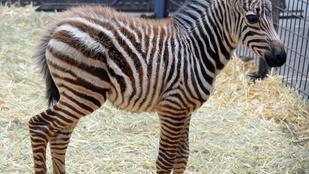 Zebracsikó született az állatkertben