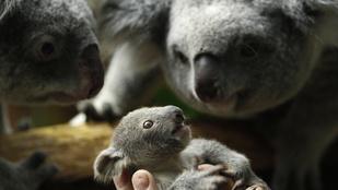 Megégett koaláknak kesztyűt varró önkénteseket várnak Ausztráliában