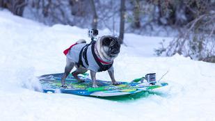 Napi cuki: már snowboardozik a szörfös mopsz