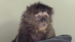 Ő Daisy, a világ legszomorúbb majma