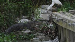 Háziállatként tartották 40 évig az aligátort