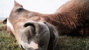 Ez a fetrengve fingó ló két év után hódította meg az internetet