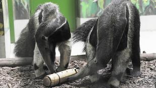 Napi cuki: így edzik a hangyászok nyelvét Nyíregyházán