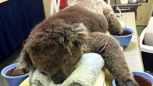 Visszatérhetett a természetbe Jeremy, a koala