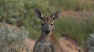 Kitiltották a kengurukölyköt egy gyorsétteremből