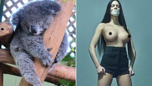 A hét képei: Így fér össze egy cuki koala pár csupasz mellbimbóval