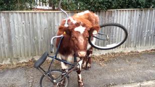 Elég furcsa módon akart biciklizni ez a tehén