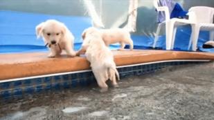 Cukiság: életében először úszik egy csapat kutyakölyök