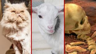 Pelenkás kecske, dubaji pénzeső, csokicsontváz a nap legszürreálisabb híreiben
