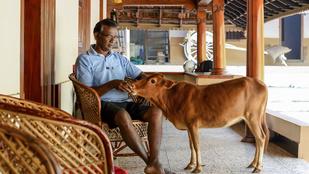 Ismerje meg a világ legkisebb tehenét!