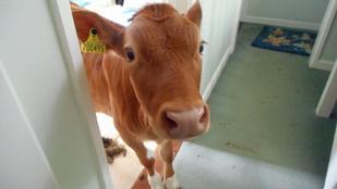 Szőnyegre szarással végződött a tehénrandalírozás Guernsey-n