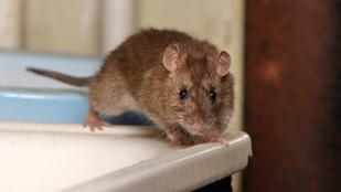 Panelhorror: patkány integetett ki a vécéből