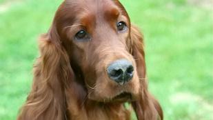 Megmérgeztek egy ír szettert a kutyakiállításon