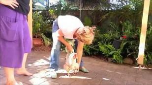 Felépült a rókatámadást szenvedett csirke