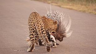 Ön szerint ki nyert a sül vs. leopárd párbajban?