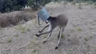 Locsolókannába szorult a lúzer kenguru feje