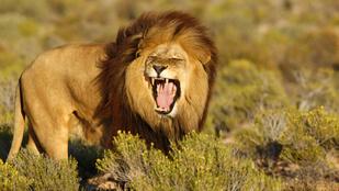 Beugrott a szafarizók közé az oroszlán néhány falatra