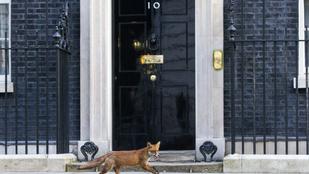 Róka sétált el a Downing Street 10. előtt