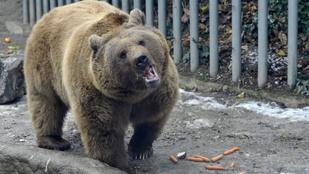 Ne szelfizzen a bükki barnamedvével!