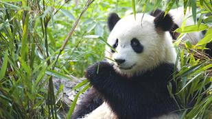 Tudja, milyen hosszú a tantra szex a pandáknál?