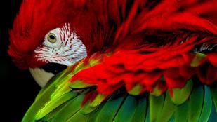 Ki ismeri fel a plázázó papagájt?