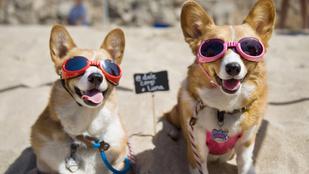 A nap legcukibb képei: corgitalálkozó a strandon