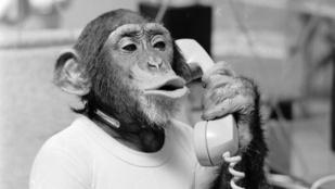 WTF: Megadják a lehetőséget a csimpánzoknak, hogy biztonyítsák, személyek