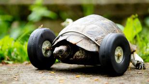 Lábak helyett kerekeket kapott a teknős
