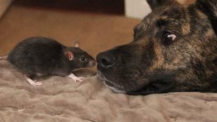 Úristen ez a kutya és ez a egy patkány TÉNYLEG barátok!!