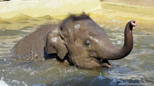 Napi cuki: így pancsol a budapesti kiselefánt
