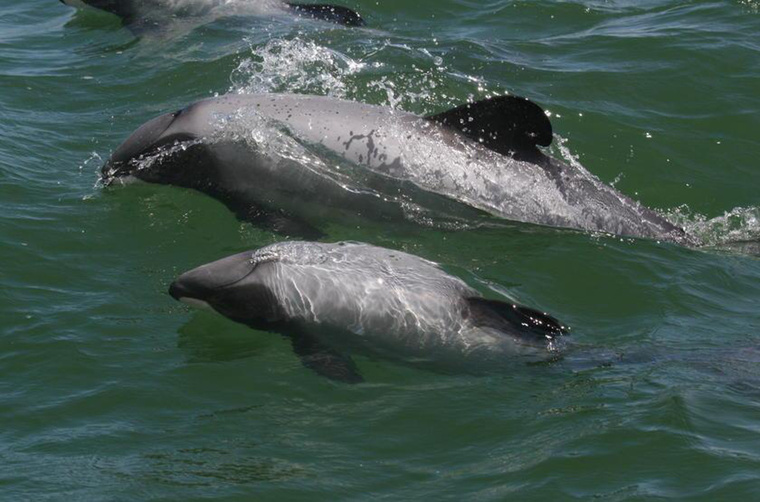 Maui delfinek