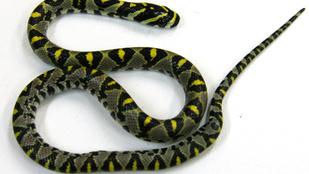 Annyira smsezett, hogy nem vette észre a kígyót