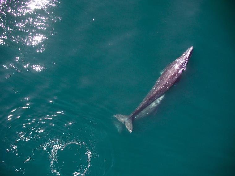 Szürke bálna a borjával vándorol a kaliforniai partok mellett