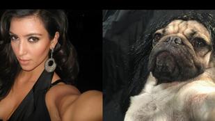 Kim Kardashianként pózolt Doug, a mopsz