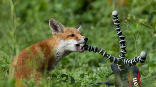 Így ismerkedik egy vad rókakölyök a fényképezőgéppel