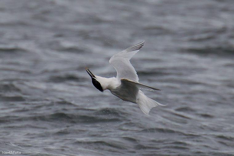 tk3s rpy tern bird 01