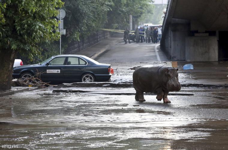 Az esőzéseket követően az állatkertből több vadállat, köztük egy víziló is megszökött.