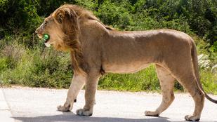 Budapesten nem fognak szökött oroszlánok kószálni