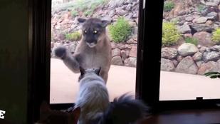 A pillanat, amikor egy puma néz be az erkélyajtón