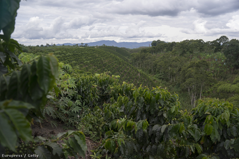 Arabica-ültetvény Kolumbiában