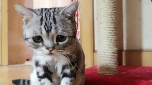 Készítsen elő zsepit, és nézze meg a világ legszomorúbb macskáját!